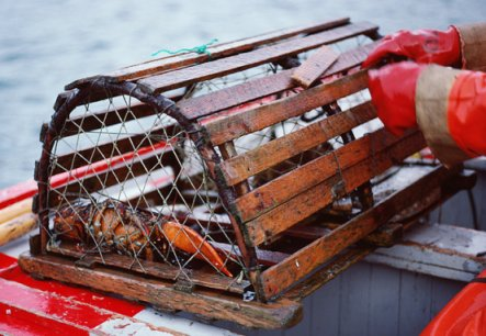 "An unlucky lobster in a ""trap"""
