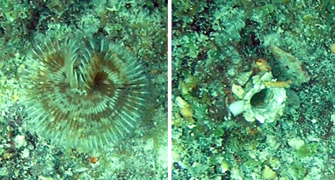 On the left, you see a tubeworm with its feathery feeding appendages extended.  On the right, the tubeworm has retracted those appendages, and you see only the opening of its tube.