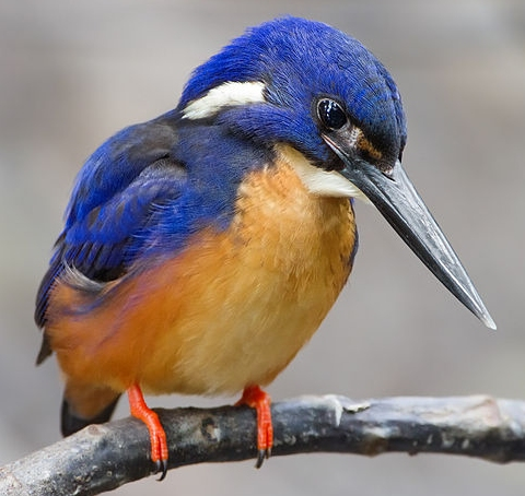 "This is an Azure Kingfisher.  The Shinkansen ""bullet train"" in Japan was improved by copying the design of a kingfisher's beak.  (click for credit)"