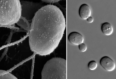 The alga (left) and yeast (right) are free-living, but when put in a situation where they must cooperate in order to survive, they do.  (images in the public domain)