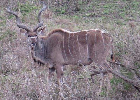 This incredible animal is a greater kudu (Tragelaphus strepsiceros).  It is one of the many amazing things we have already seen in South Africa.  (copyright Kathleen J. Wile, click for larger image.)