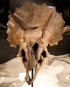 A triceratops skull (click for credit)