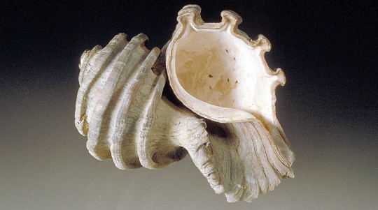 This is a picture of an Ecphora fossil.  (click for credit)