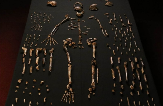 A composite skeleton of Homo naledi, surrounded by other fossils from the same find (click for the full picture and credit)