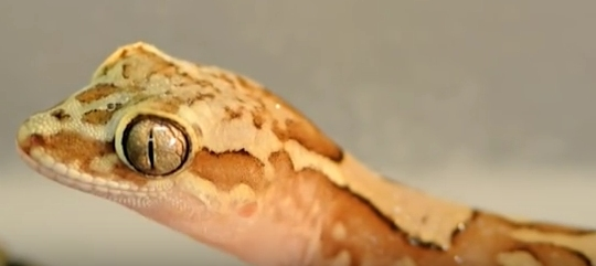 The box-patterned gecko has an amazing way to stay dry! (click to see video from which this image was taken)