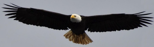 An adult bald eagle in flight (click for credit)