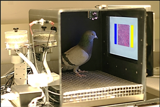 Dr. Pigeon examines a microscope image of tissue to see if it is cancerous. (image from the article being discussed)