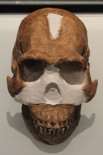 A reconstruction of Homo naledi's skull (click for credit)