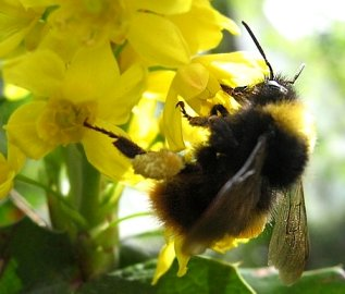 A bumblebee on a flower (click for credit)
