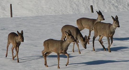 A herd of roe deer on snow.  (Click for credit)