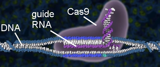 Illustration of CRISPR-Cas9 finding a DNA sequence (taken from the video posted at the end of this article)