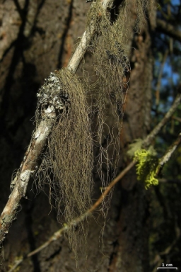 The stringy stuff hanging on this tree is a lichen from the genus Bryoria. (click for credit)